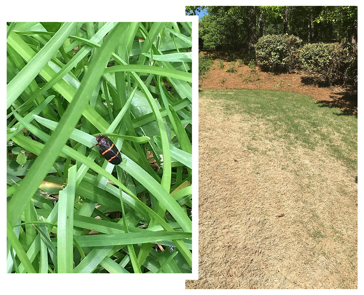 Spittle Bug Management - Nature Pro Lawn Care - Alabaster Helena Pelham Calera Chelsea Hoover